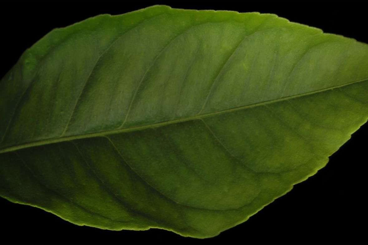 medium-lemon_tree_leaf-header